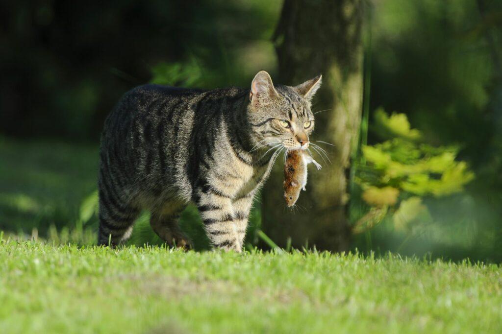 Modelo presa para gatos