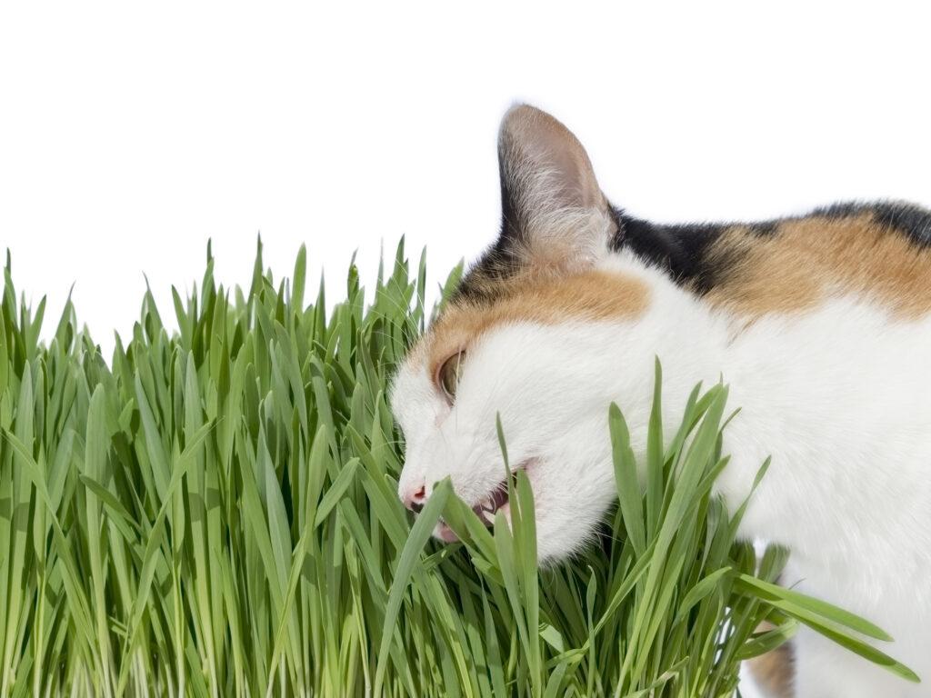 Valeriana para gatos