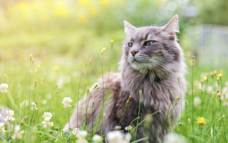 asma en gatos