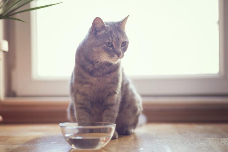 Cálculos biliares en gatos