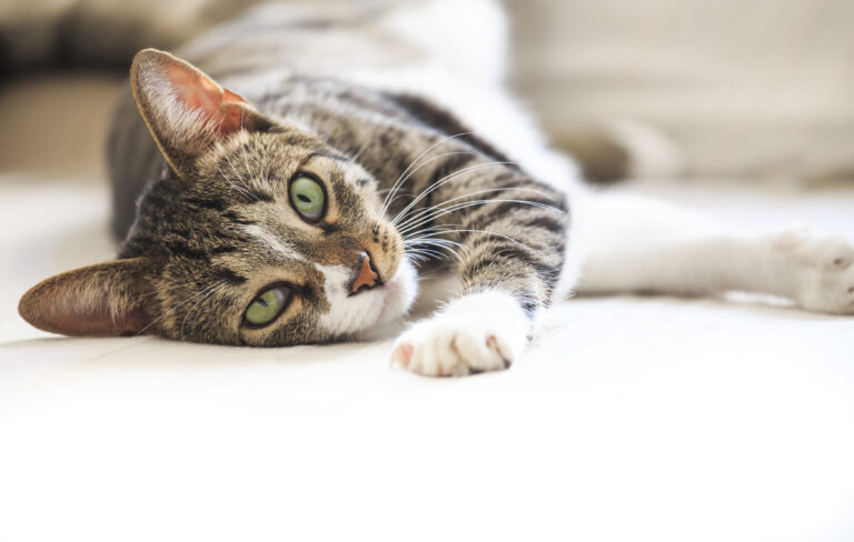Clamidiosis felina