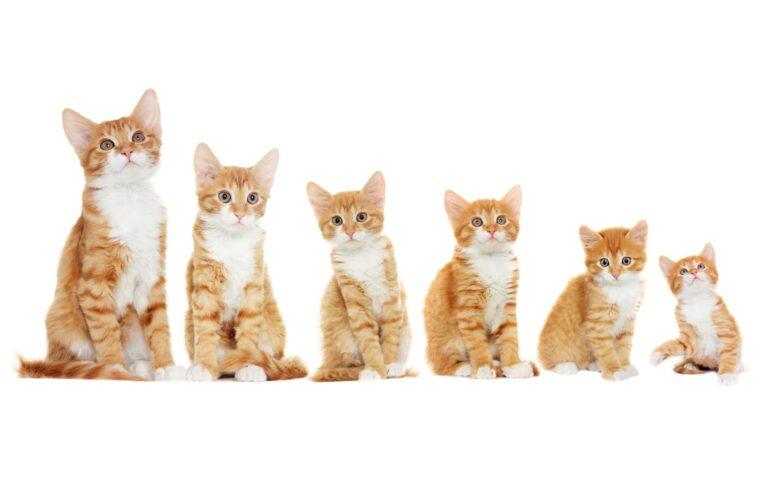 crecimiento del gato