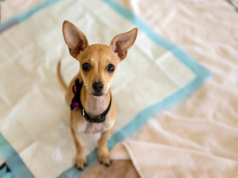Incontinencia en perros