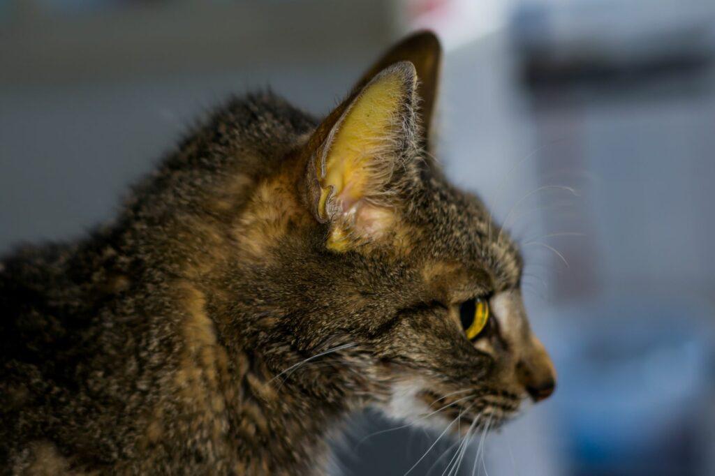 PIF en gato