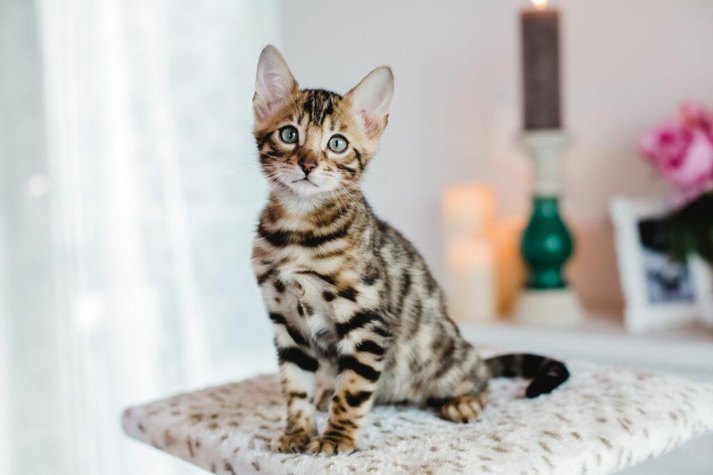 razas de gatos más caras