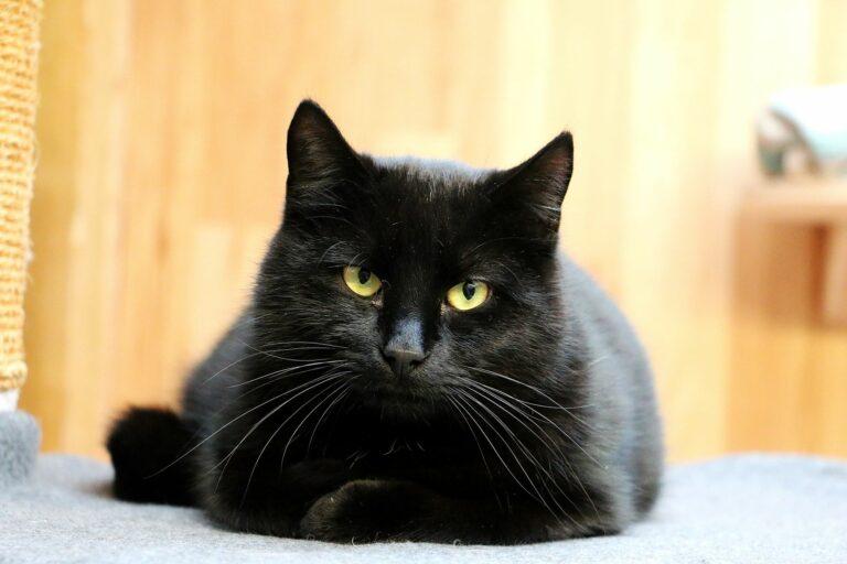 Gatos negros