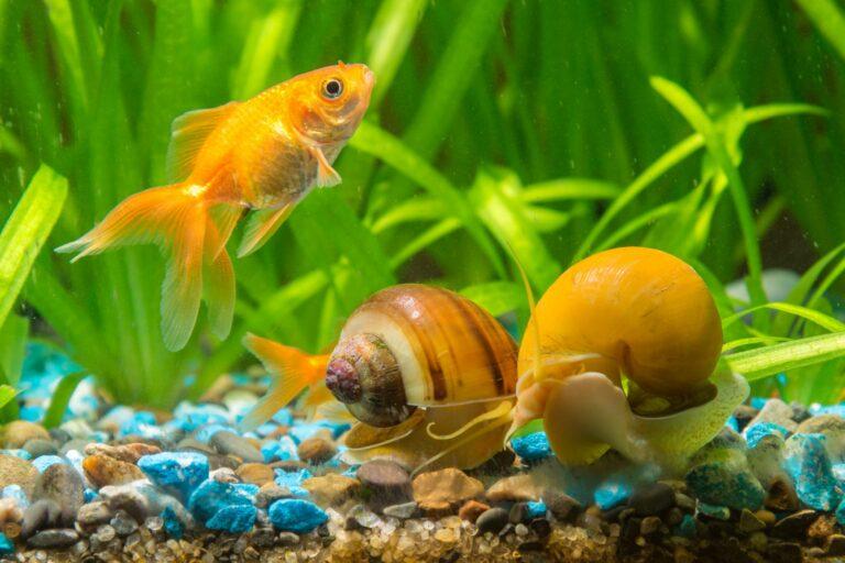 Caracoles en el acuario