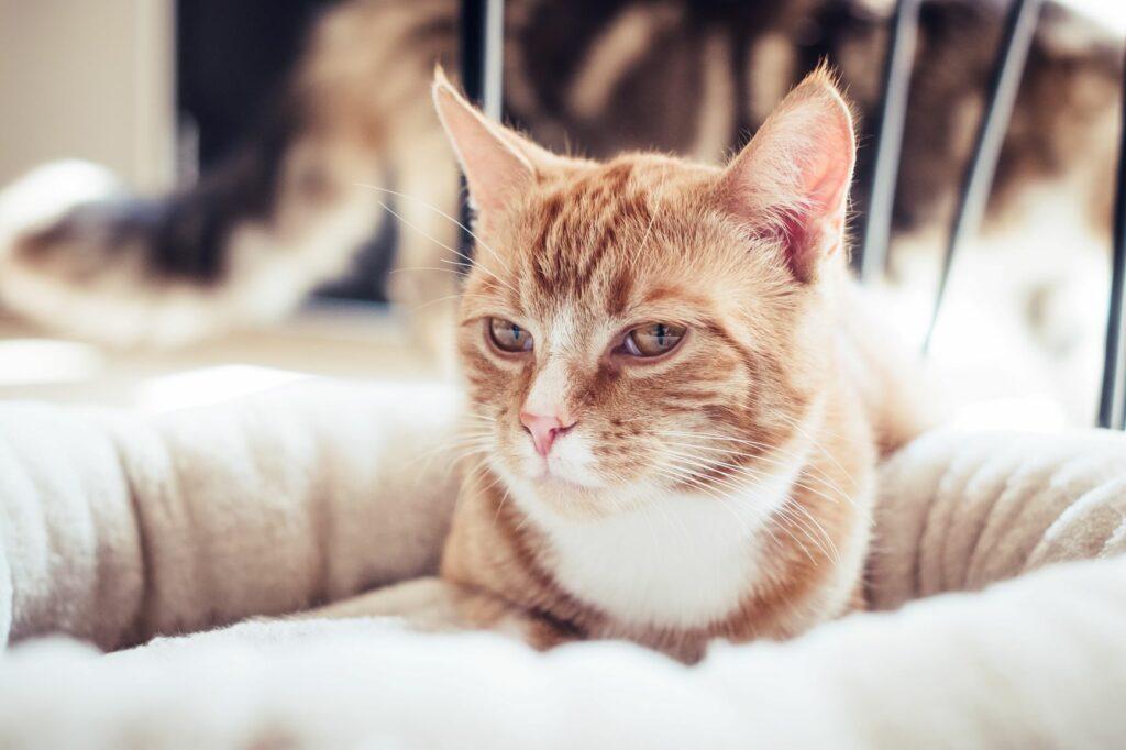 San Valentín para gatos