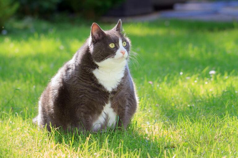 Sobrepeso en gatos
