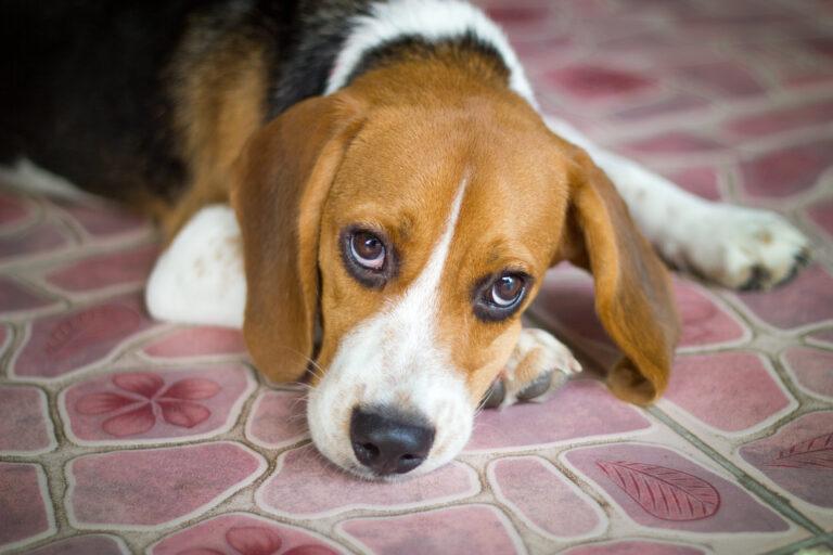 Leptospirosis en perros