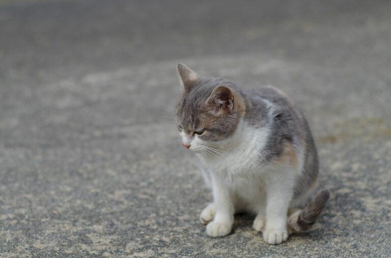 Artritis en gatos