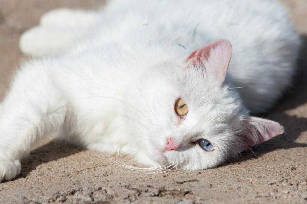 quemaduras solares en gatos